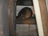 Potkan v suterénu domu - Havířov - Šumbark