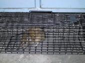 Odchycený potkan v odchytové kleci