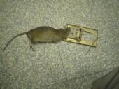 Mechanicke pasti fungují dodnes spolehlivě - odchyt potkana