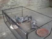 Odchycení holubi