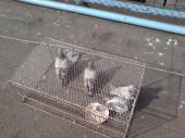 Zahájen odchyt holubů